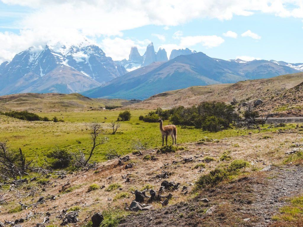 Guanaco in Torres del Paine