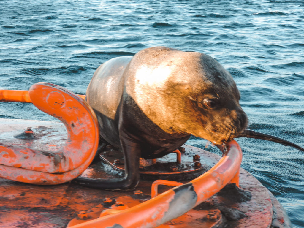 Sea lion in Valparaiso