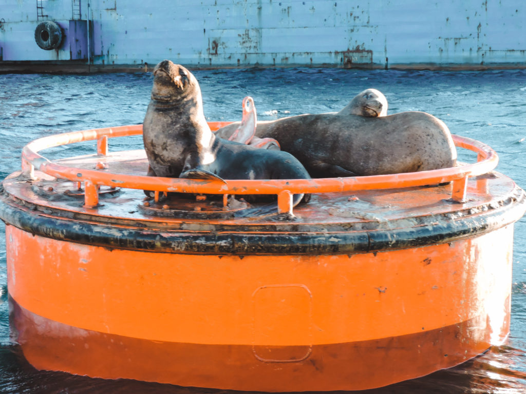 sea lions in Valparaiso port