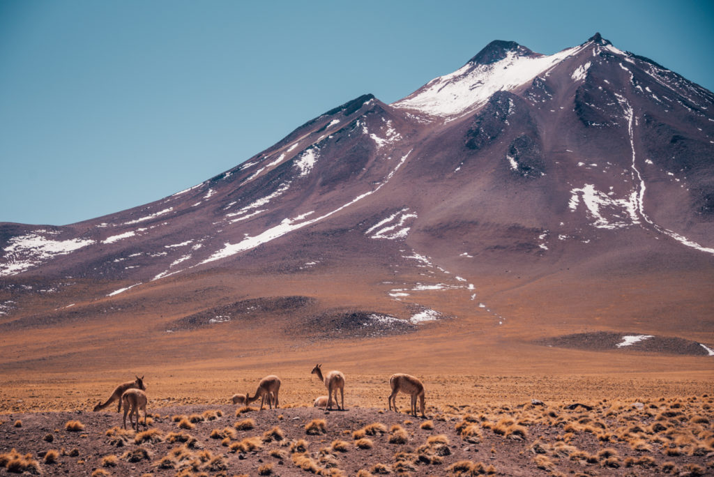 Altiplanic valleys with vicunas