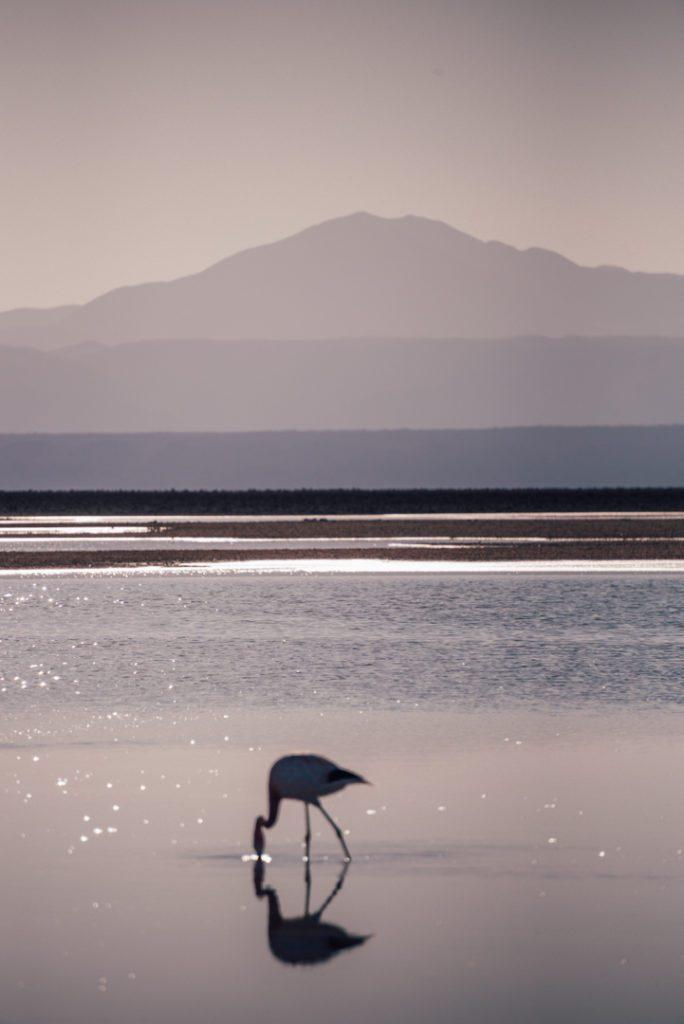 Flamingo in Atacama Desert