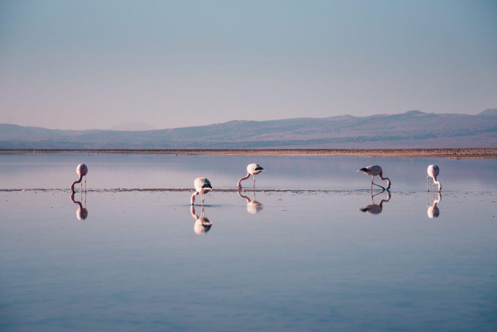 Flamingos in Laguna Chaxa Chile