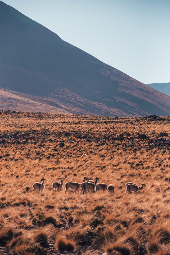 Vicunas in the Atacama Desert