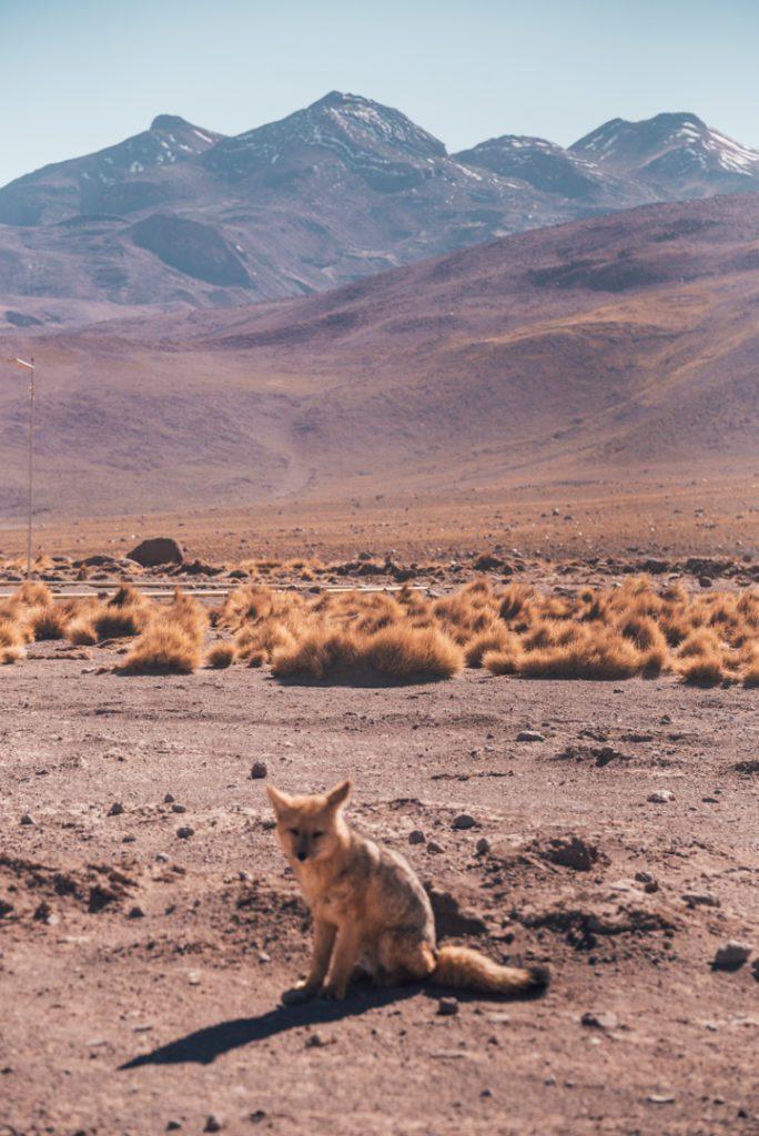 Fox at tatio geysers