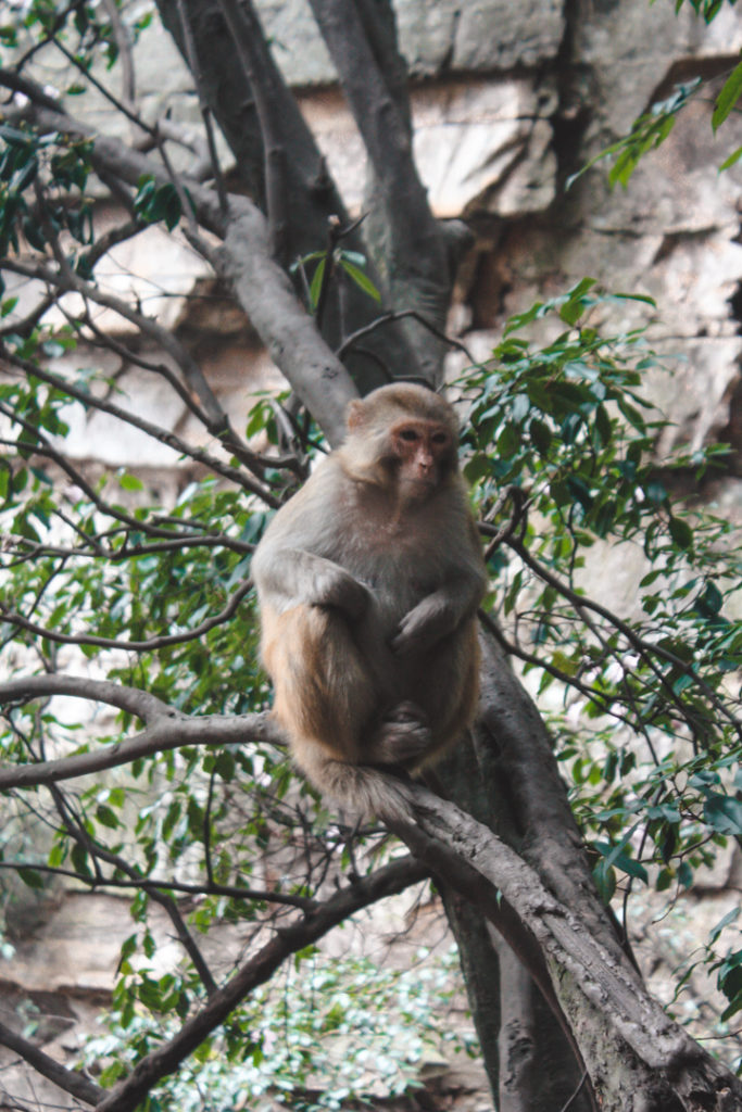 Monkey in Zhangjiajie China lesser places to visit in china