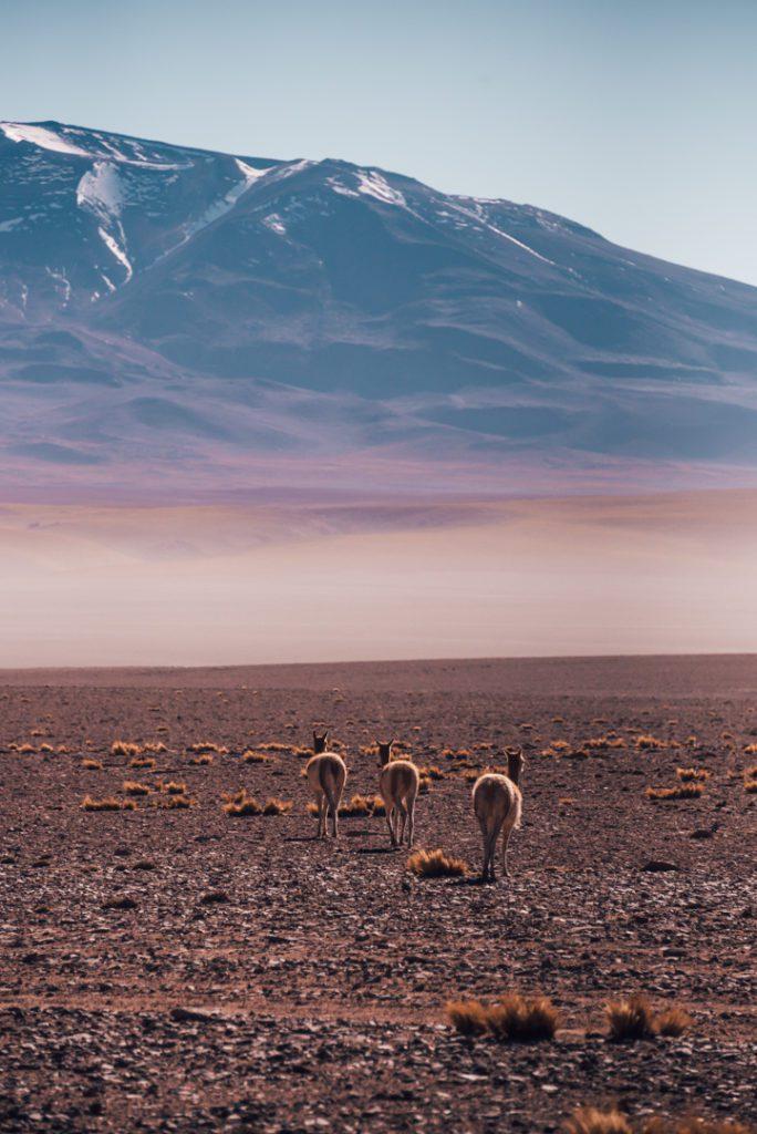 Vicunas in Atacama Desert