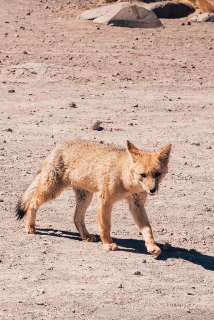 Andean fox tour of geyser del tatio