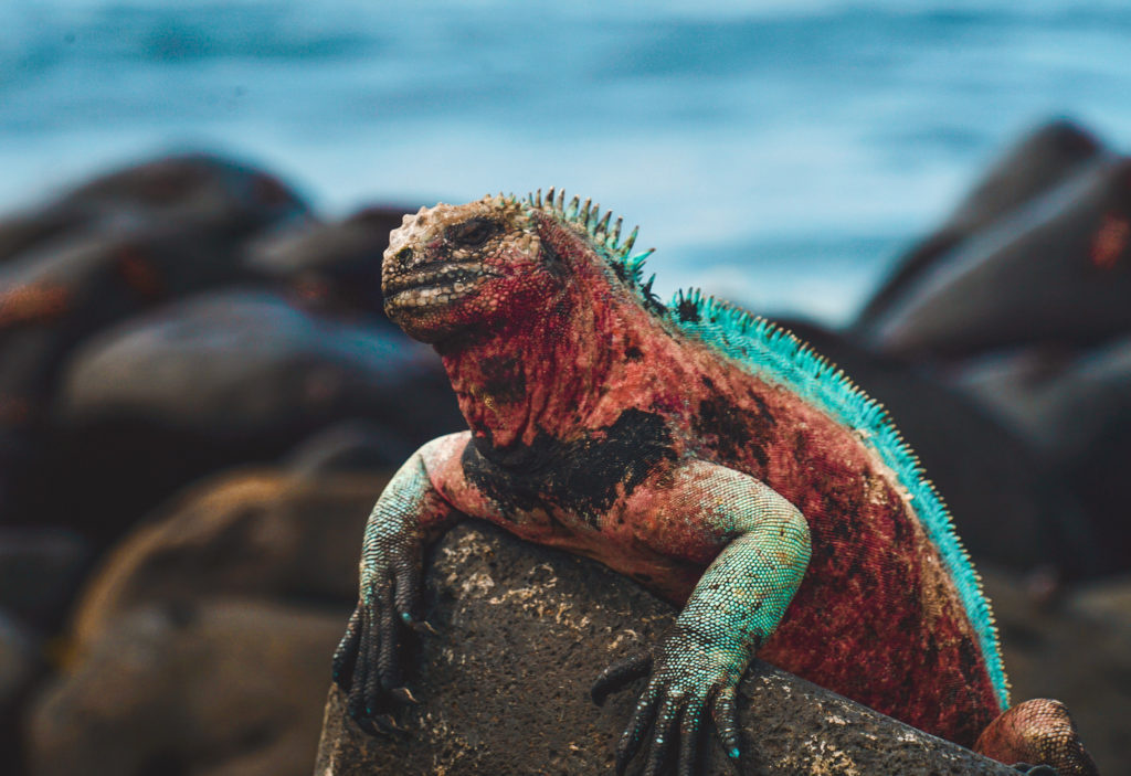 Sea iguana in the Galapagos