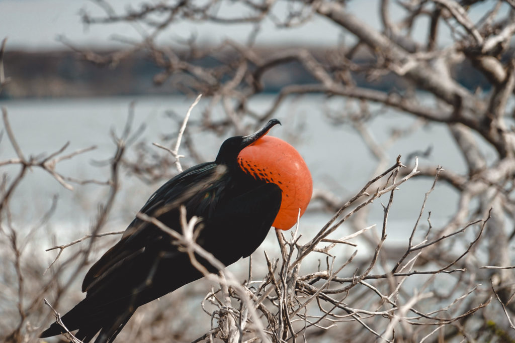 Unique bird in the Galapagos