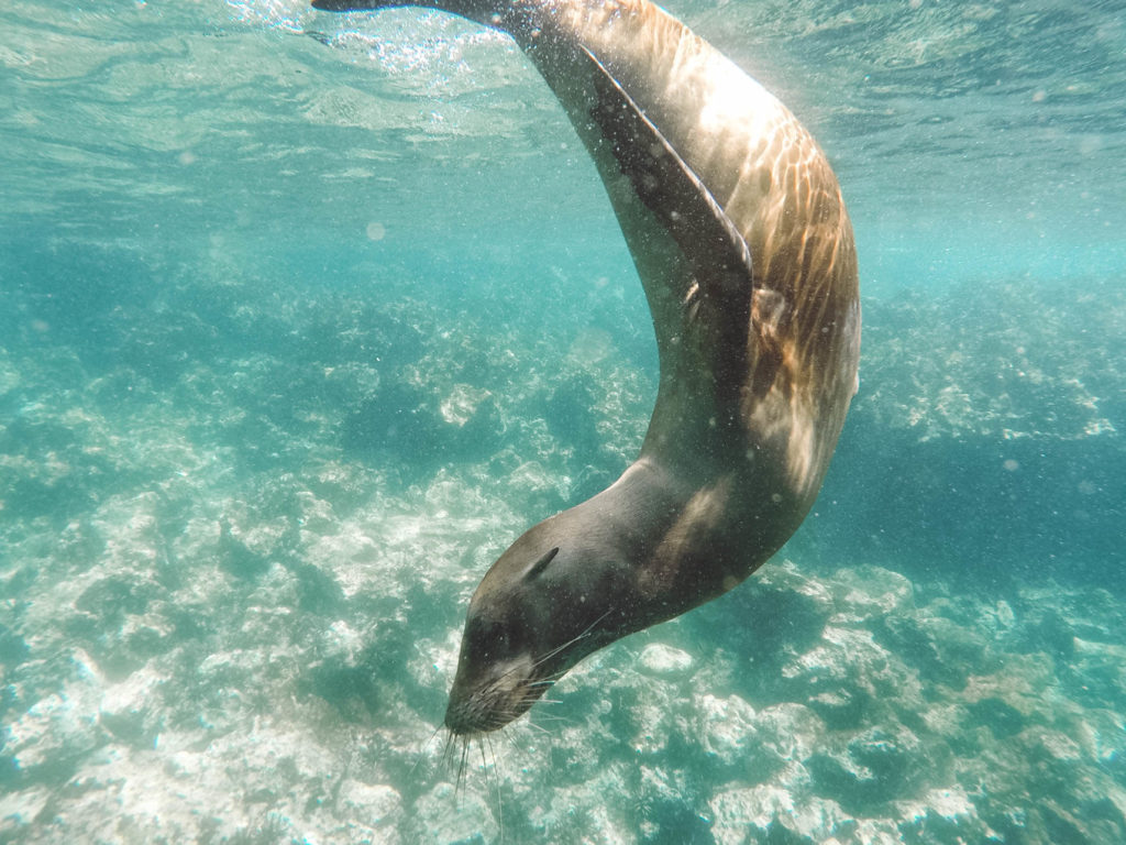 sea lion swimming in the Galapagos