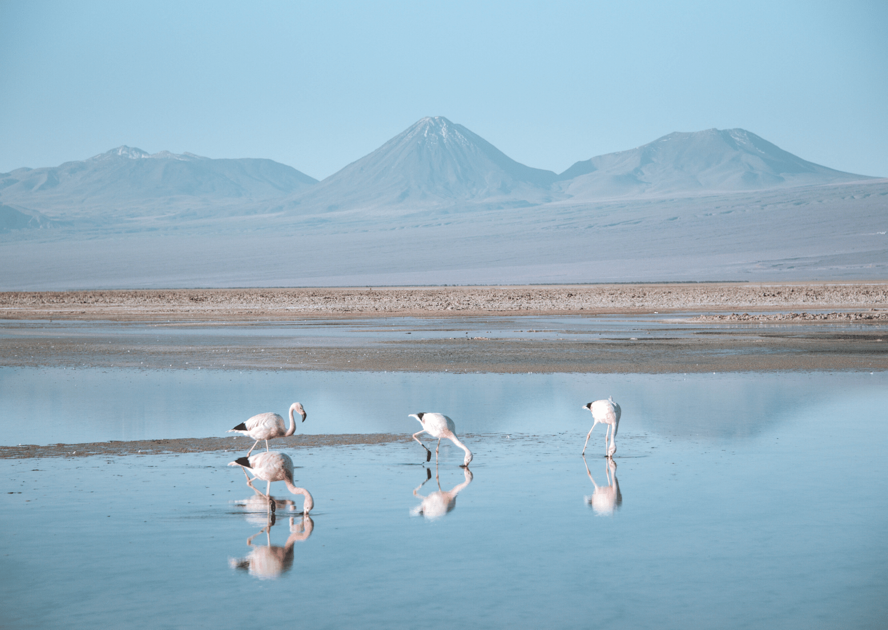 Flamingos in Laguna Chaxa Chile